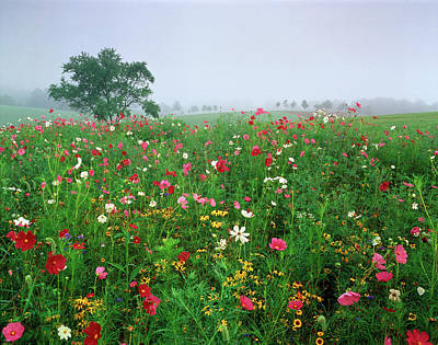 Large Format Photograph - Usa, Kentucky, Union, Field Of Cosmos by Adam Jones