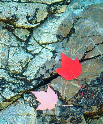 Usa, Maine, A Maple Leaf On A Rock Art Print by Jaynes Gallery