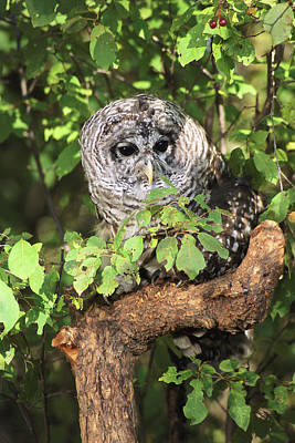 Barred Owl Photograph - Usa, Montana, Kalispell by Jaynes Gallery