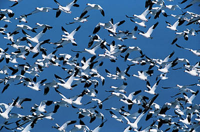 Flock Of Geese Photograph - Usa, New Mexico, Bosque Del Apache by Hugh Rose