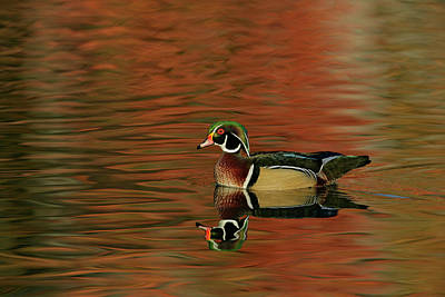 Wood Duck Photograph - Usa, Ohio, Cleveland, Chagrin by Jaynes Gallery