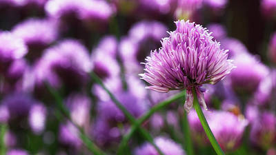Chives Photograph - Usa, Oregon, Keizer, Chives In Bloom by Rick A Brown