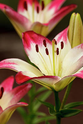 Usa, Oregon, Keizer, Cultivated Day Lily Print by Rick A Brown