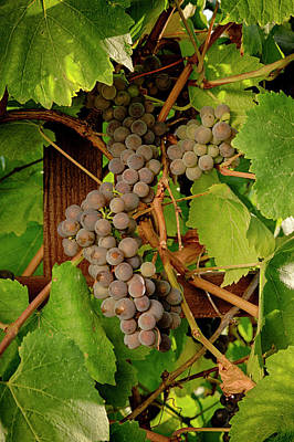 Grape Leaves Photograph - Usa, Oregon, Keizer, Pinot Gris Grapes by Rick A Brown