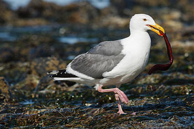 Shorebird Photograph - Usa, Oregon, Newport, Yaquina Head by Rick A Brown