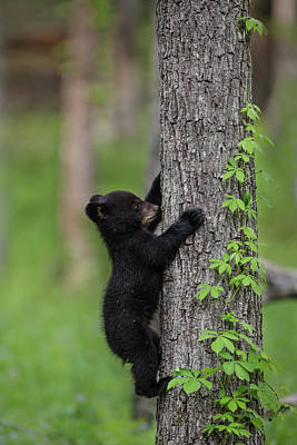 Usa, Tennessee Black Bear Cub Climbing Art Print by Jaynes Gallery
