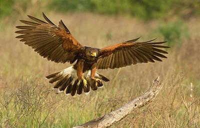 Harris Hawk Photograph - Usa, Texas, Rio Grande Valley, Edinburgh by Jaynes Gallery