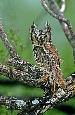 Screech Owl Photograph - Usa, Texas, Rio Grande Valley, Mcallen by Jaynes Gallery