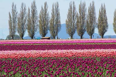 Skagit Photograph - Usa, Washington, Mount Vernon, Tulip by Emily Wilson