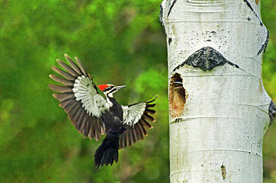 Pileated Woodpecker Photograph - Usa, Washington, Yakima by Jaynes Gallery