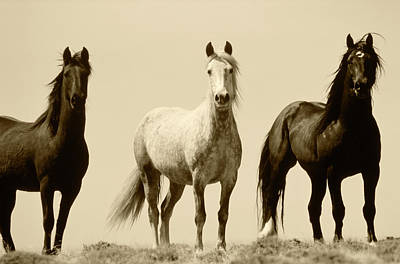 Usa, Wyoming, Young Wild Stallions Art Print