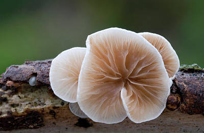 Striking Photograph - Variable Oysterling Fungus by Nigel Downer