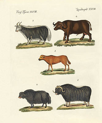 Yak Drawing - Various Kinds Of Oxen by Splendid Art Prints
