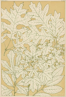 Maple Leaf Art Drawing - Various Leaves, Full-sized,  Traced by Mary Evans Picture Library