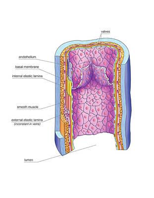 Basal Photograph - Vascular Anastomosis by Asklepios Medical Atlas