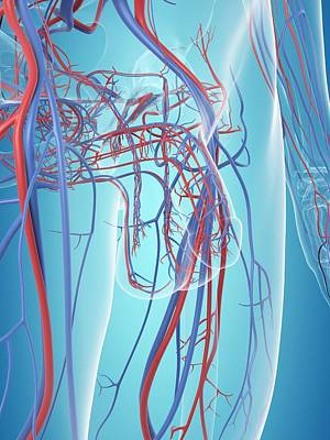 Vascular System Of The Male Pelvis Art Print by Sciepro