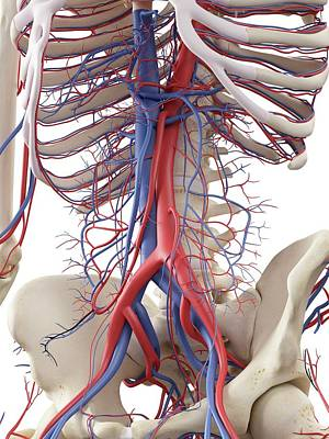 Vascular System Art Print by Sciepro