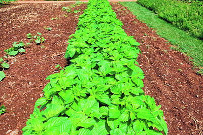 Farm Scene Photograph - Vegetable Garden At Thomas Jeffersons by Panoramic Images