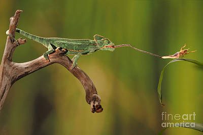 Photograph - Veiled Chameleon Catches Cricket by Scott Linstead