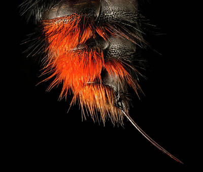 Stinger Photograph - Velvet Ant by Us Geological Survey