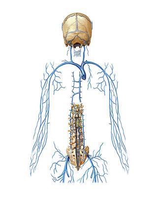 Venous System Of Vertebral Venous Plexus Print by Asklepios Medical Atlas