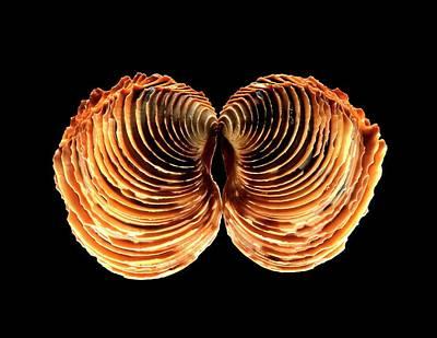 Venus Clam Shell Art Print by Gilles Mermet