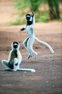 Animal Behavior Photograph - Verreauxs Sifaka Propithecus Verreauxi by Panoramic Images