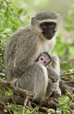 Vervet Monkey And Young Art Print by Bob Gibbons