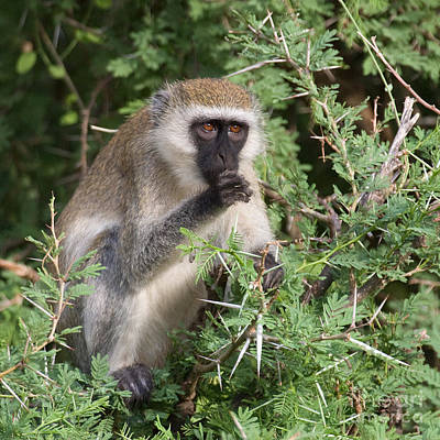 Photograph - Vervet Monkey by Chris Scroggins