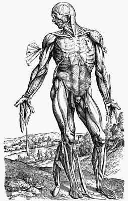 Photograph - Vesalius: Muscles by Granger