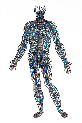 Photograph - Vesalius: Nerves, 1543 by Granger