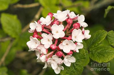 Viburnum Photograph - Viburnum Carlesii Charis by Adrian Thomas