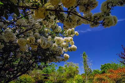 Photograph - Viburnum Opulus Compactum Bush With White Flowers  by Alex Grichenko
