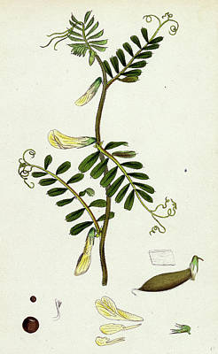 Hybrida Drawing - Vicia Hybrida Hairy-flowered Vetch by English School