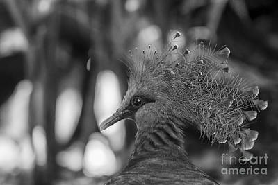 Photograph - Victoria Crowned Pigeon by Brad Marzolf Photography