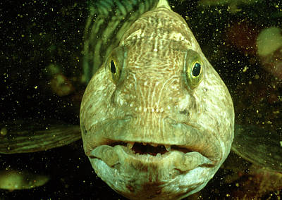 Catfish Wall Art - Photograph - View Of A Wolf Fish by Rudiger Lehnen/science Photo Library