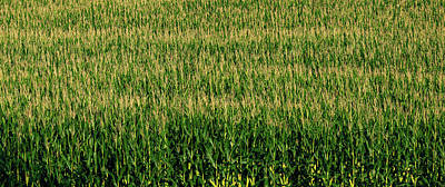 Cornfield Photograph - View Of Cornfield, Cowansville, Quebec by Panoramic Images
