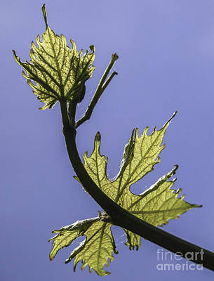 Photograph - Vine by Michael Canning
