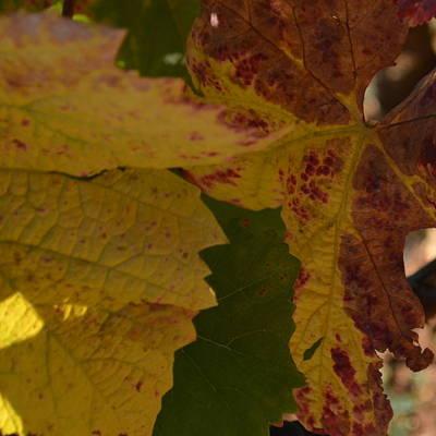 Photograph - Cote De Nuits Vines 1.3 by Cheryl Miller