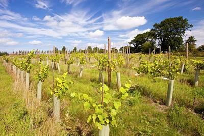 Grape Vine Photograph - Vineyard by Ashley Cooper
