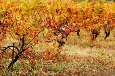 Vineyard In Autumn, Gaillac, Tarn Art Print