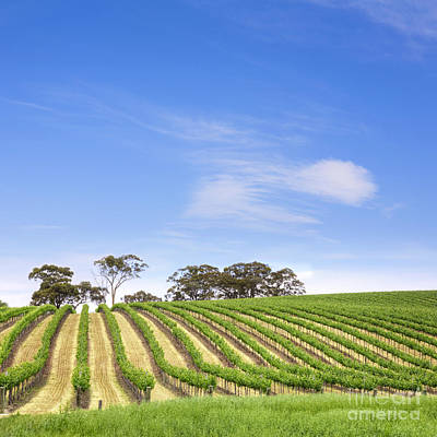 Rural Landscapes Photograph - Vineyard South Australia Square by Colin and Linda McKie