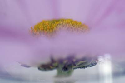 Photograph - Violet Daisy by Frederic BONNEAU Photography