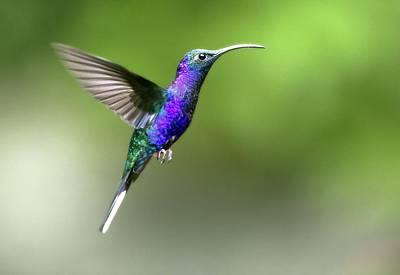 Trochilidae Photograph - Violet Sabrewing Hummingbird by Nicolas Reusens
