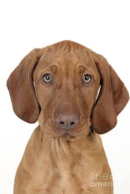 Vizsla Photograph - Vizsla Puppy Dog by John Daniels