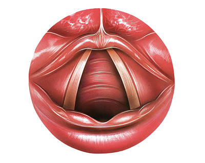 Vocal Photograph - Vocal Folds by Asklepios Medical Atlas