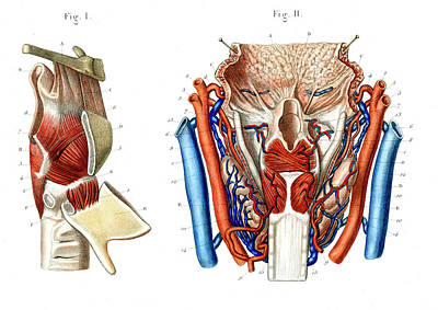 Human Voice Photograph - Voice Box Anatomy by Collection Abecasis