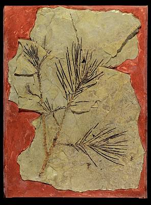 Paleobotanical Photograph - Voltzia Conifer Fossil by Gilles Mermet