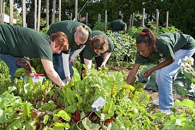 Gleaners Photograph - Volunteers In A Community Garden by Jim West