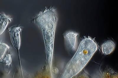 Vorticella Protozoa Art Print by Frank Fox